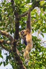 Pileated gibbon( Hylobates pileatus) on the tree
