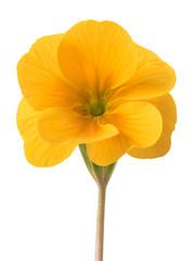 Wall Mural - yellow primrose