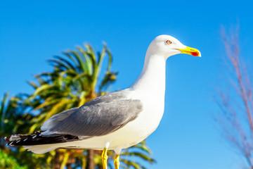 Seagull clouse up on Promenade de la Croisette