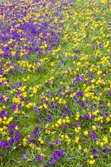 Crocus flowers on grass. Purple-Vernus. Yellow- chrysanthus.