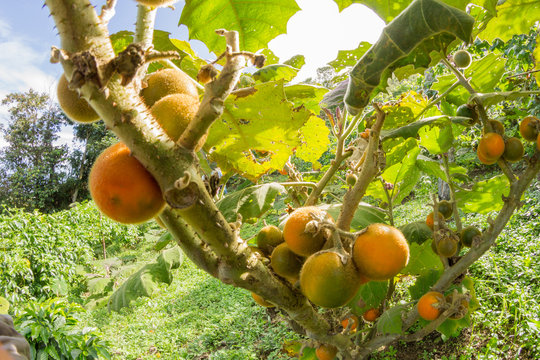cultivo lulo fruta tropical