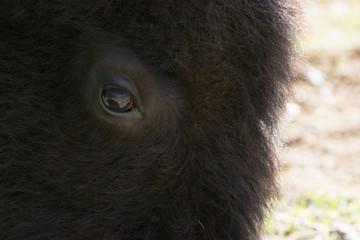 Poster Luipaard Gentle eye of a large American Bison, or Buffalo