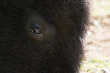 Spoed Fotobehang Wolf Gentle eye of a large American Bison, or Buffalo