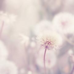 Dandelion flowers. Filtered image.