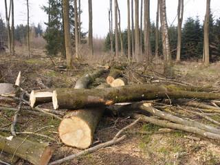 Gefällte Bäume - Der falsche Weiße Stängelbecherchen Pilz ( Hymenoscyphus pseudoalbidus ) verursacht ein rasantes Eschenbaumsterben in Europa