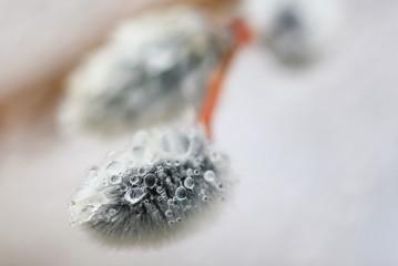 Макро картина ивовых прутьев и бутонов с каплями росы воды