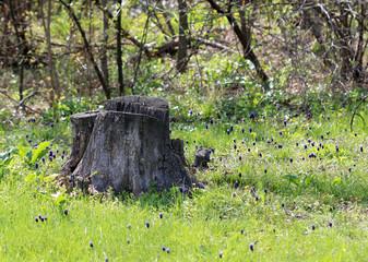 Живописный пень на опушке весеннего леса