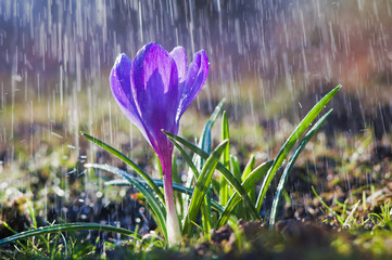 Beautiful spring blue crocus in the spring rain