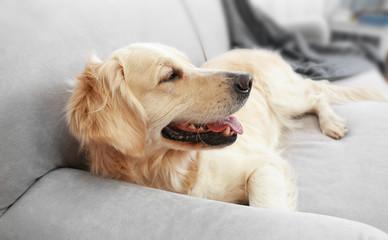 Golden retriever lying on a sofa at home