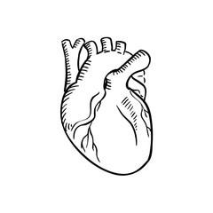 Isolated human heart outline sketch
