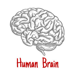Isolated human brain engraving sketch