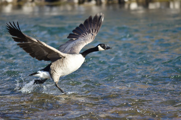 Canada Geese Taking to Flight from the River