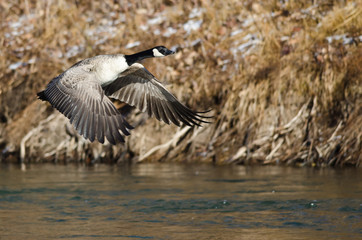 Canada Geese Flying Low Over the River