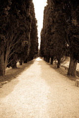 avenue of cypress trees in Aquileia, Italy