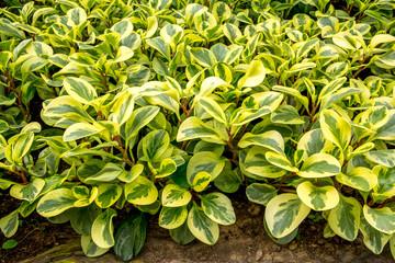 Peperomia plants