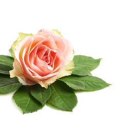 Rose bud surrounded with leaves