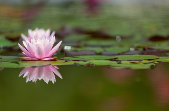 Flower of pink water lily with reflection in water