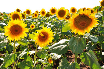 Landscape sunflower fields