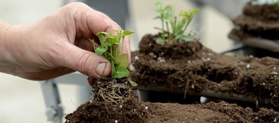 Pickieren von Sämlingen im Gartenbau