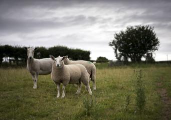 Fototapeta Welsh Sheep and Yearling Lambs