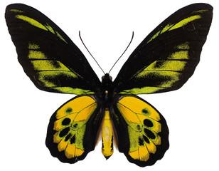 ロスチャイルドトリバネアゲハ♂(Ornithoptera rothschildi Kenrich)