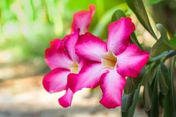 Azalea pink flowers in the garden