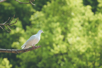 Single white dove on a branch