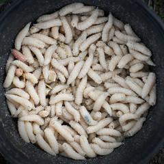 Fishing bait, maggots