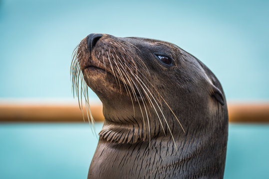 Close-up of Galapagos sea lion by railing
