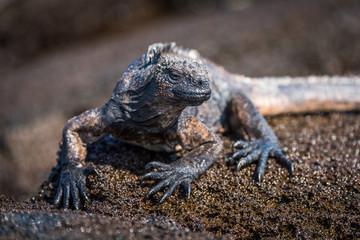 Marine iguana perched on wet brown rock