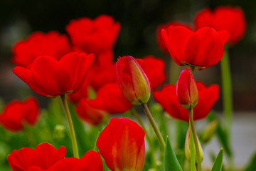 red tulip on green blurred background