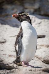 Rockhopper penguin posing on rock in sunshine
