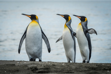 Three king penguins looking in same direction