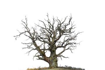 oak tree isolated on white