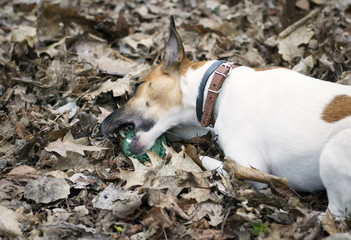 Dog Fox Terrier plays with the ball