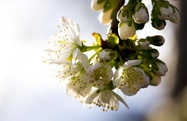 flowering cherry tree. flowers of sweet cherry.