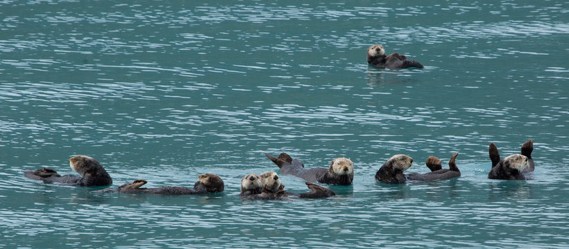 colony of sea otters