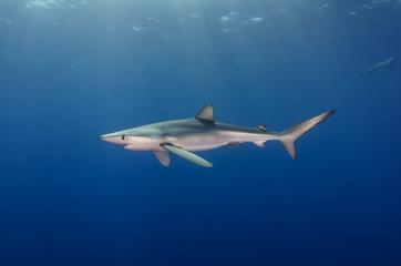Blauhai / Blue shark mit Sonnenstrahlen im Atlantischen Ozean, Azoren
