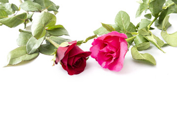 Red Rose and pink rose isolated on white background