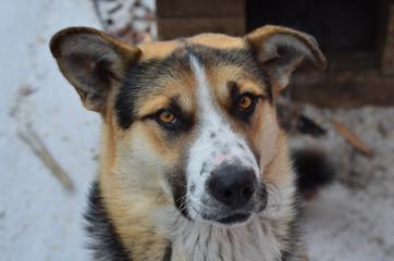 Portrait of dog - Siberian husky