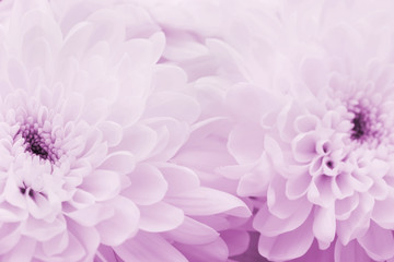 Chrysanthemum flowers for background, beautiful floral texture, retro toning, pink color, macro