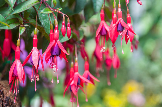 Pink and purple fuchsia flowers