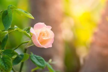 Rose pink beautiful blooming in Garden