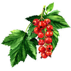 Red ripe currant with green leaves isolated, watercolor illustration