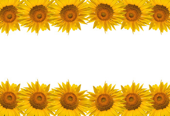 Sunflower isolate on white, design for background.