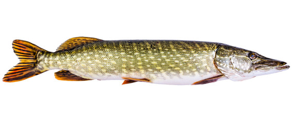 European pike isolated on white background