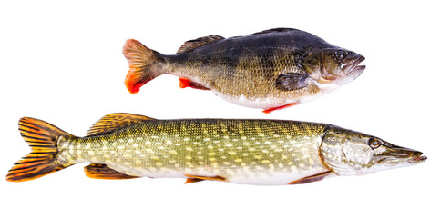 Perch and pike - two typical freshwater predators