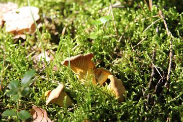 forest mushrooms chanterelles/chanterelle forest mushrooms growing in a green moss