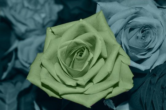 rose verte photos royalty free images graphics vectors videos adobe stock adobe stock