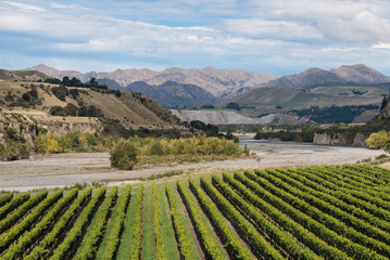 vineyards at Awatere river in New Zealand